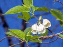 Common Silverbell (Halesia tetraptera var. tetraptera)
