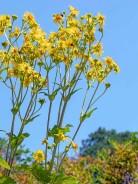Cup Plant (Silphium perfoliatum)