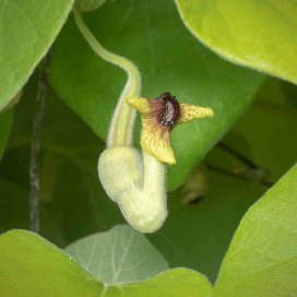 Dutchman's Pipe (Aristolochia macrphylla)