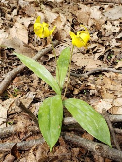 a Trout Lily (Erythronium sp.)