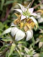 Eastern Horse-mint (Monarda punctata)