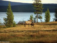 Elk - West Thumb Geyser Basin - Lake Yellowstone
