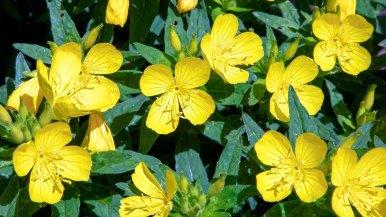 Evening Primrose (Oenothera fruticosa)