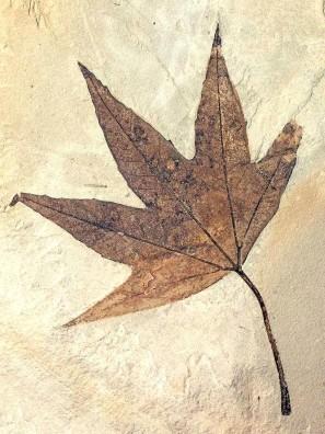 Geology Museum Sweetgum (Liquidamber sp) Ecocene Epoch 34-56 million years ago, Utah