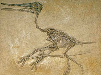 Geology Museum Winged Reptile (Pterdactylus antiquus pterosaur) 155 million years old, Germany
