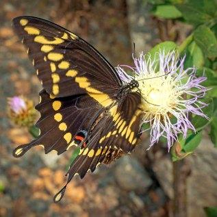 Giant Swallowtail (Papillio cresphontes)