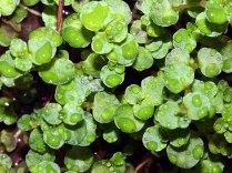Golden Saxifrage; Water Mat (Chrysosplenium americanum)