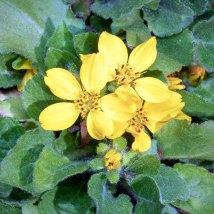 Green & Gold (Chrysogonum virginianum)
