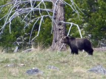 Mother Grizzly Bear near Osprey Falls