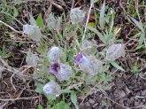 Hairy Clematis (Clematis hirsutissima)