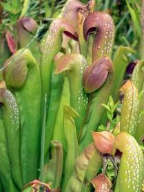 Hooded Pitcherplant (Sarracenia minor)