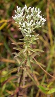 Hyssop-leaved Thoroughwort (Eupatorium hyssopifolium)