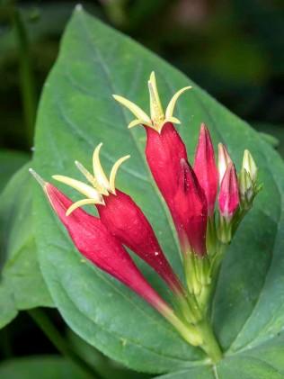 Indian Pink (Spigelia marilandica)