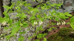 American Honeysuckle (Lonicera canadensis)