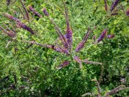 Leadplant (Amorpha sp)