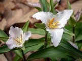 Least Trillium (Trillium pusillum)