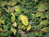 Lopseed (Phryma leptostachya}