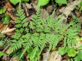 Lowland Fragile Fern (Cystopteris protrusa)