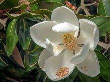 a Magnolia