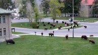 Mammoth Hot Springs Rush Hour