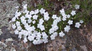 Many-flowered Phlox (Phlox multiflora)