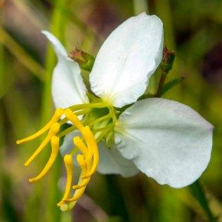 Maryland Meadowbeauty (Rhexia mariana)