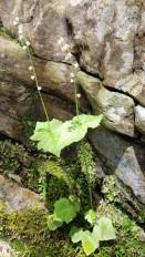 Two-leaved Miterwort (Mitella diphylla)