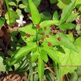 Meadow Parsnip (purple) (Thaspium trifliatum var. trifoliatum)