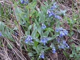 Mountain Bluebell (Mertensia ciliata)