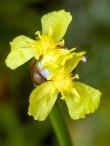 Mountain Yellow-eyed Grass (xyris torta)