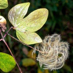 Northern Leatherflower (Clematis viorna)