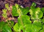 Oconee Bells (Shortia galaciflora)