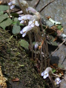 One-flowered Cancer Root (Orobanche uniflora) in the Rocks