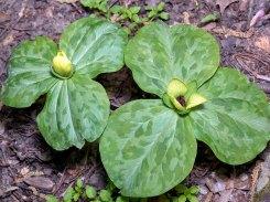 Pale Yellow Trillium (Trillium discolor)