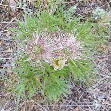 Pasque Flower (Anemone patens) Fruit
