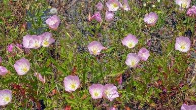Pink Showy Evening Primrose (Oenothera speciosa)