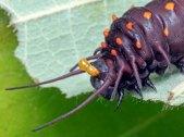 Pipevine Swallowtail - Osmeterium (scent horns) as defense against predators