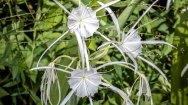 Possibly Cahaba Lily (Hymenocallis coronaria)