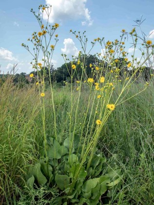 Prairie Dock (Silphium terebinthinaceum)