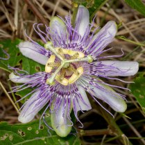 Purple Passionflower (Passiflora incarnata)