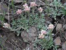Pussytoes (Antennaria sp.)