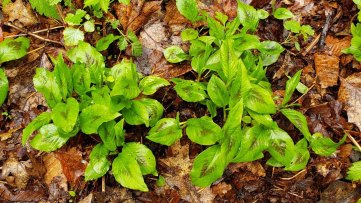 Jumpseed; Virginia Knotweed (Persicaria virginiana)