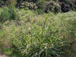 Rattlesnake Master (Eryngium yuccaifolium)