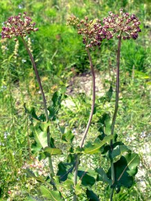 a Red Flowered Milkweed (Asclepias sp.)