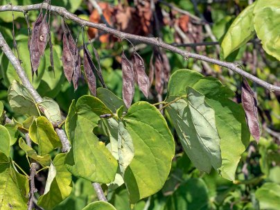 Redbud (Cercis canadensis) with Seedpods