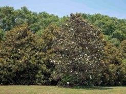 Row of Magnolia Trees