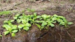 Skunk Cabbage (Symplocarpus foetidus)