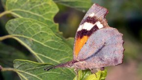 Snout Butterfly (Libytheana carinenta)
