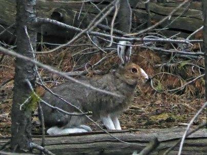 Snowshoe Hare near Osprey Falls
