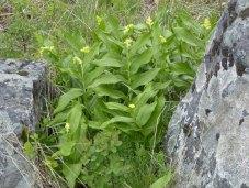 Solomon's-Plume (Maianthemum racemosum)